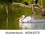 white pelican swimming | Shutterstock . vector #60561073