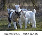 cute baby goat on field in... | Shutterstock . vector #605616455