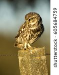 Adult Male Of Little Owl....