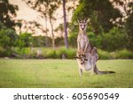 Eastern Kangaroos In The Wild
