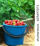 strawberry in blue bucket over...   Shutterstock . vector #605697071