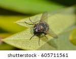 a macro of a fly on a leaf | Shutterstock . vector #605711561
