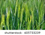 The Green Ears Of Cereal Crops...