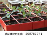 seedlings of sweet pepper in... | Shutterstock . vector #605783741