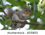 a gray squirrel snacking on a... | Shutterstock . vector #605803
