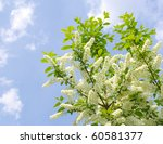 Flowering  Bird Cherry Tree