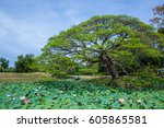 Rain Tree And Lotus In The...