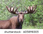 Bull Moose With Big Antlers...