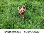 Yorkshire Terrier Dog Sitting...
