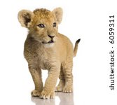 Lion Cub  3 Months  In Front Of ...