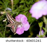 White Lined Sphinx Moth Feedin...