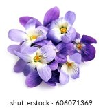 violets flowers isolated on...