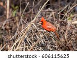 Small photo of Red Cardinal