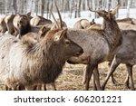 Ural  Kennel Zyuratkul  A Herd...