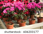 Pink Blooming Azalea In The...