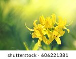 sunny yellow rhododendrons... | Shutterstock . vector #606221381