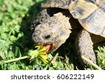 A Big Land Turtle Eating A...