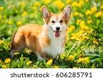 Funny Pembroke Welsh Corgi Dog...