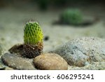 Cactus  Succulents With Stone...
