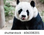 Giant Panda Licking