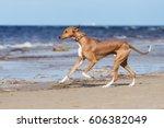 azawakh dog running on a beach | Shutterstock . vector #606382049