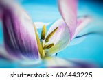 Colorful Tulip Flower Close Up