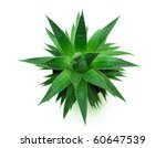 Green Thorny Plant. The Top...