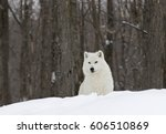 Arctic Wolf In Winter Snow