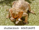 Pogona Vitticept Eating Beetle...