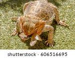 Pogona Vitticept Eating Beetle...