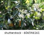 Orange Tree Flowers Shot With...
