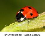 European Seven Spot Ladybird ...