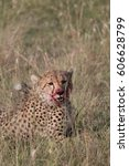 Small photo of Africa, Kenya,Masai Mara, Cheetah (Acinonyx jubatus) with impala kill. (Aepyceros melampus) . Eating prey. 2016-08-04