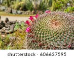 Purple Flowering Barrel Cactus...