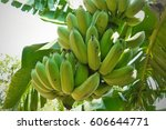 green banana bunch garden farm... | Shutterstock . vector #606644771