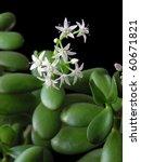 Flowering Crassula...