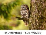 tawny owl hidden in the forest. ... | Shutterstock . vector #606790289