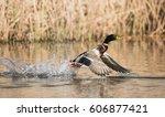 Mallard  Duck  Birds