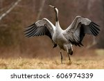 common crane  grus grus    Shutterstock . vector #606974339