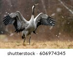 common crane  grus grus    Shutterstock . vector #606974345
