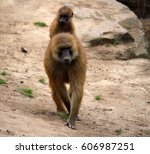 baboon riding on the back of... | Shutterstock . vector #606987251