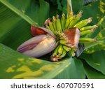 banana flower blossom with...   Shutterstock . vector #607070591