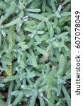 Small photo of Achillea tomentosa green plant vertical