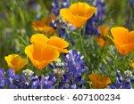 California Poppies ...
