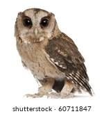 Stock photo young indian scops owl otus bakkamoena in front of white background 60711847