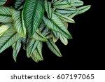 pin stripe calathea  calathea... | Shutterstock . vector #607197065