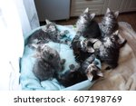 Stock photo sweet maine coon kittens blue and black colored lying in a cat s blue sofa 607198769