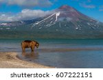 kamchatka. brown bear. | Shutterstock . vector #607222151