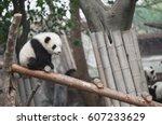 panda  china  chengdu  wildlife ... | Shutterstock . vector #607233629