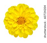 Beautiful Yellow Dahlia Flower...